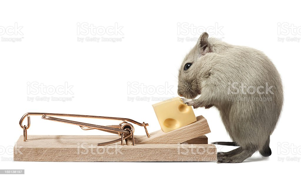Mouse eating cheese of the trap stock photo