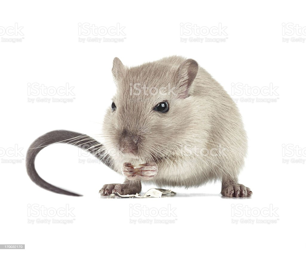 Mouse eating stock photo
