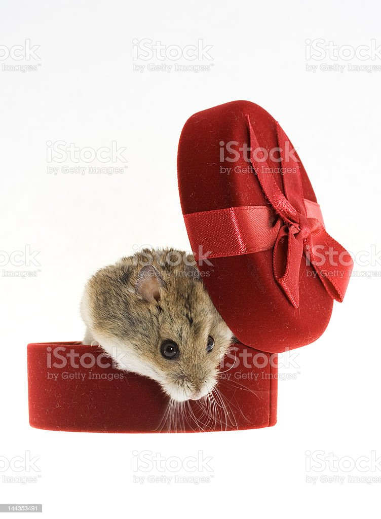 Mouse from the gift box stock photo