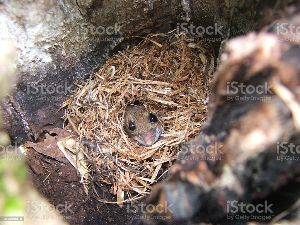 Mouse Hiding and Peeking from Nest in Tree in Nature stock photo