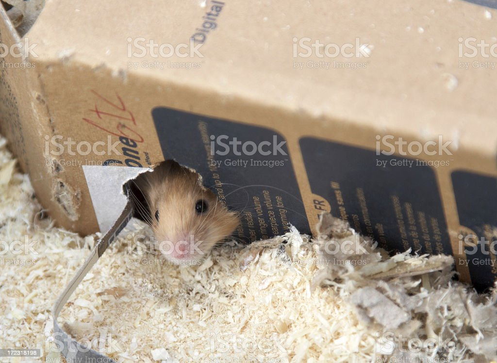 Mouse in a cardboard box royalty-free stock photo