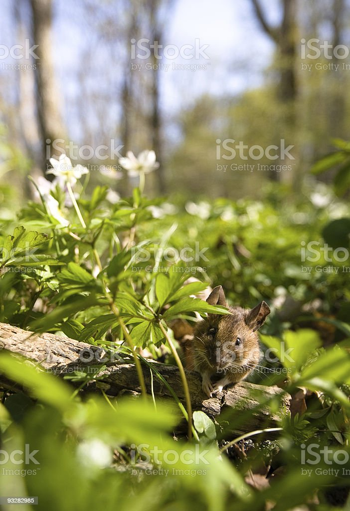 Mouse in forest stock photo
