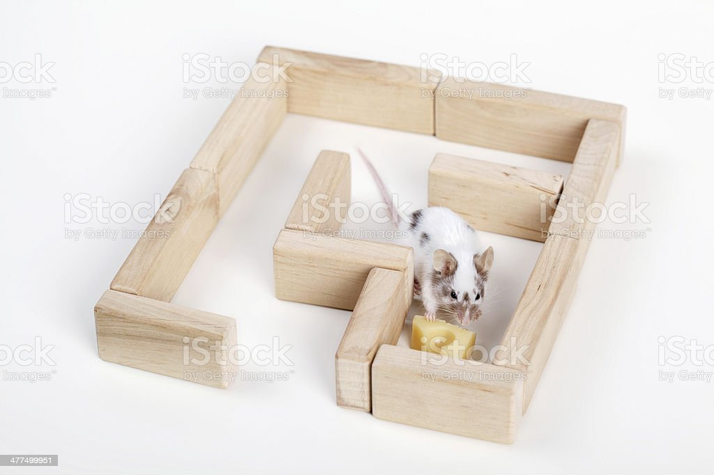 mouse in maze looking for cheese stock photo