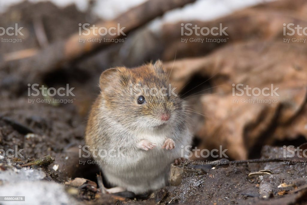 mouse in the snow stock photo