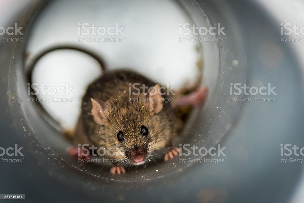 Mouse in Tube stock photo