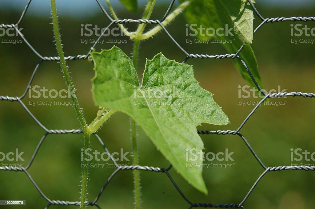 Mouse Melon Leaf stock photo
