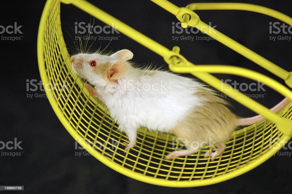 Mouse on wheel stock photo
