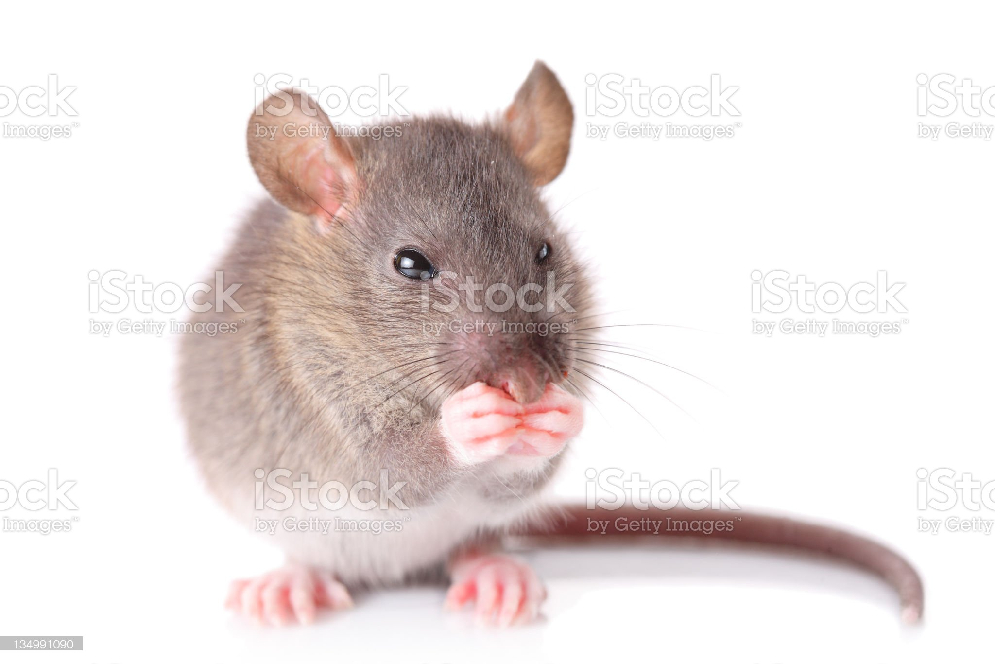 Mouse royalty-free stock photo