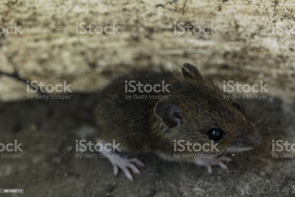 mouse stock photo