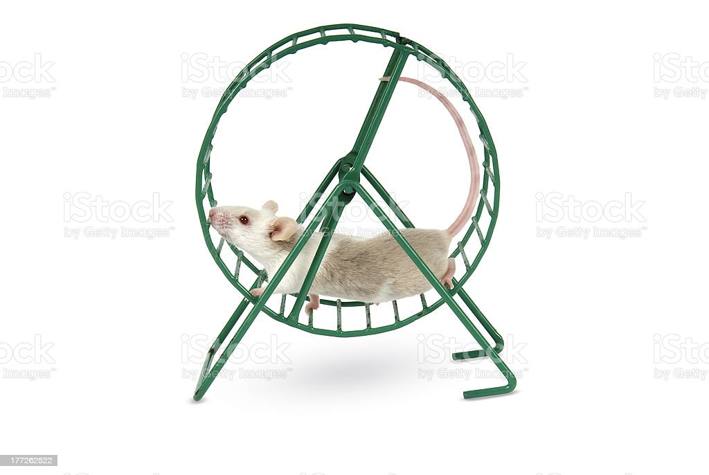 Mouse playing in an exercise wheel on a white background. stock photo
