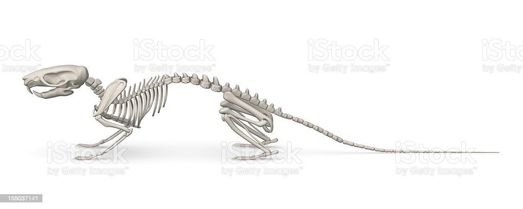 mouse skeleton royalty-free stock photo