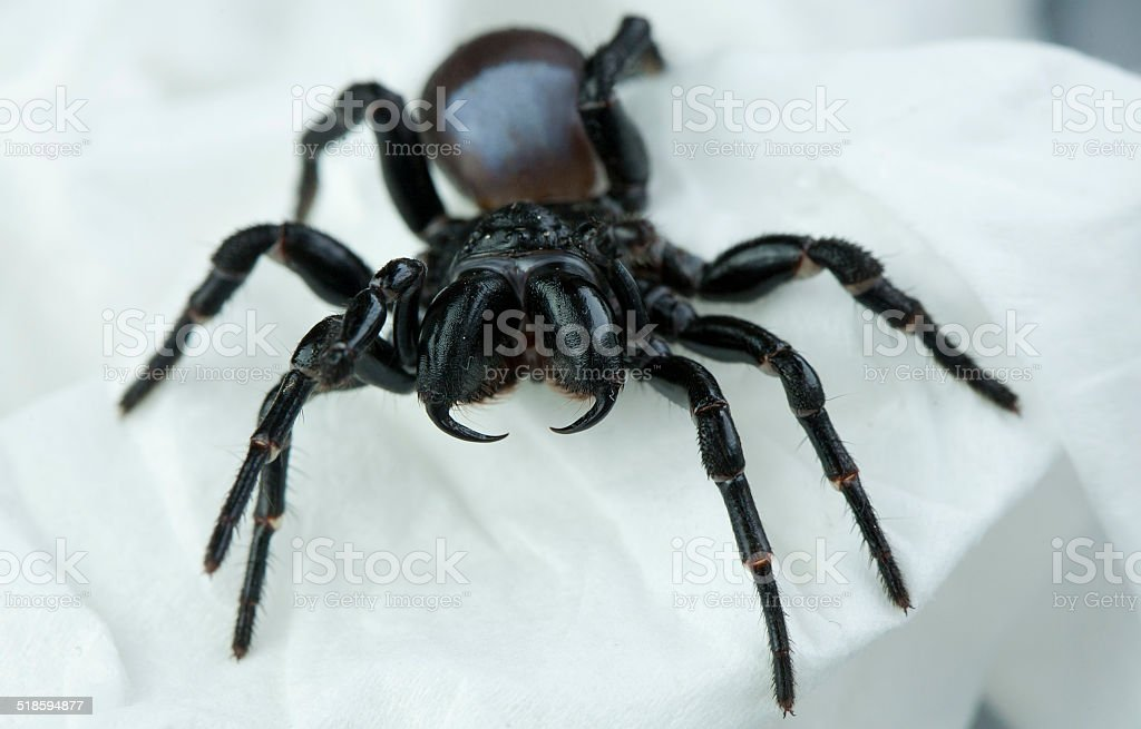 Mouse Spider Fangs stock photo