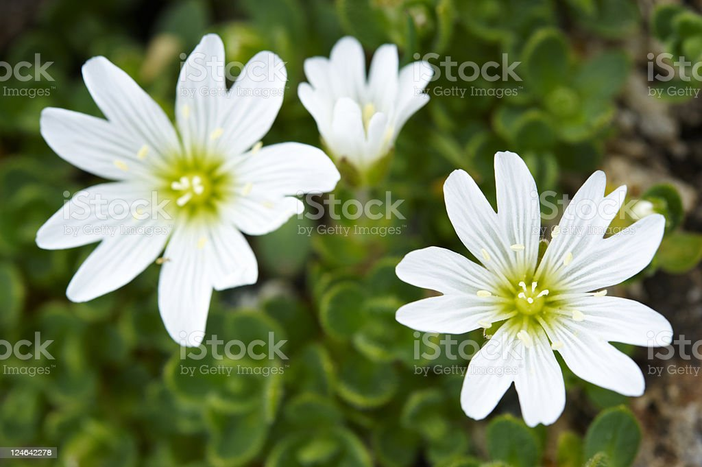 Mouse-Ear Chickweed stock photo
