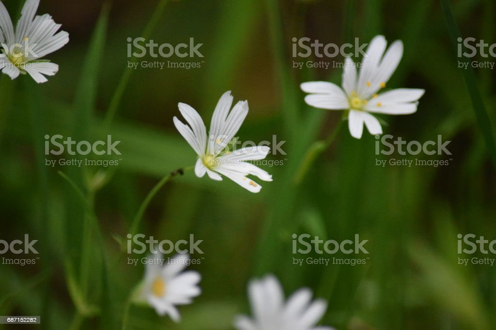 Mouse-eared chickweed flowers stock photo