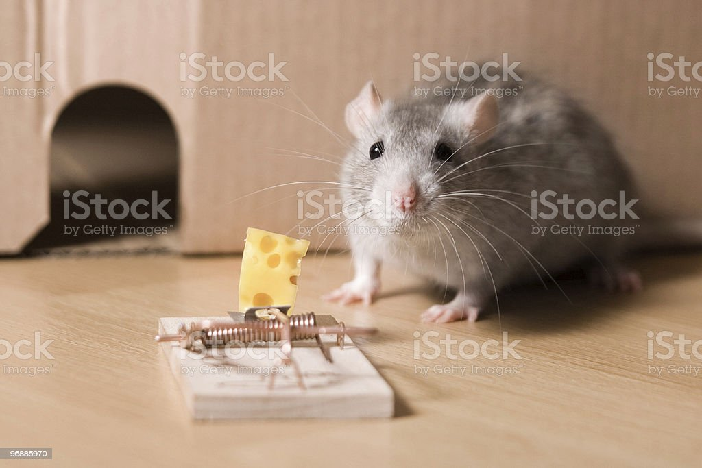 mousetrap and cheese stock photo