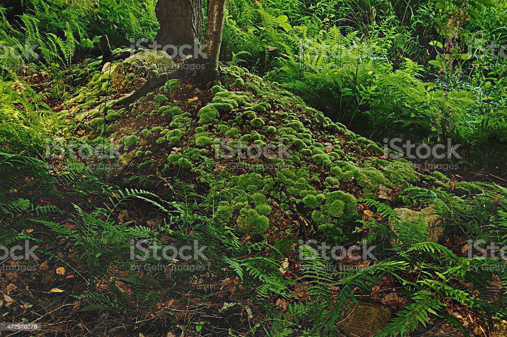 Mousse fougeres et arbres stock photo