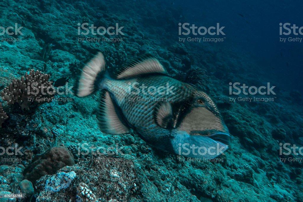 Moustache Triggerfish (Balistoides viridescens) stock photo