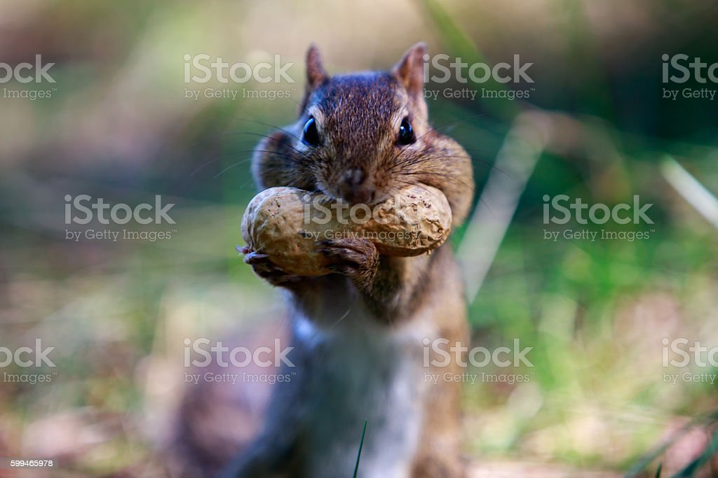 mouth full squirrel stock photo