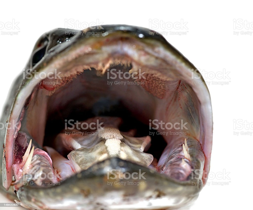 Mouth of pike royalty-free stock photo