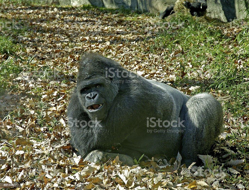 mouthy gorilla royalty-free stock photo