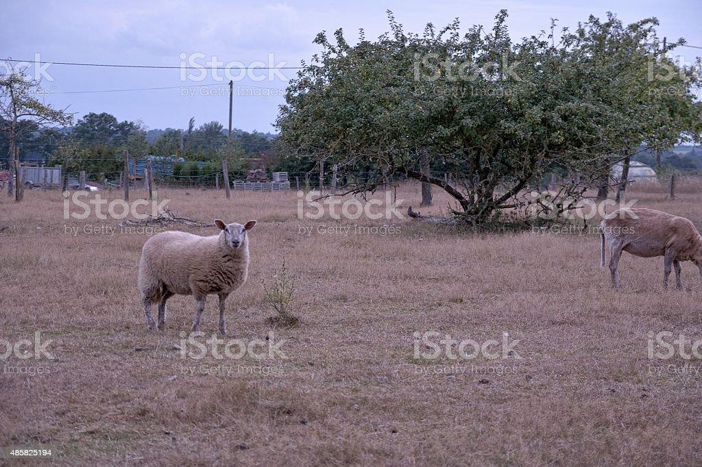 mouton dans un pré stock photo
