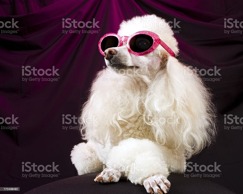 Movie Star Poodle Striking a Pose stock photo