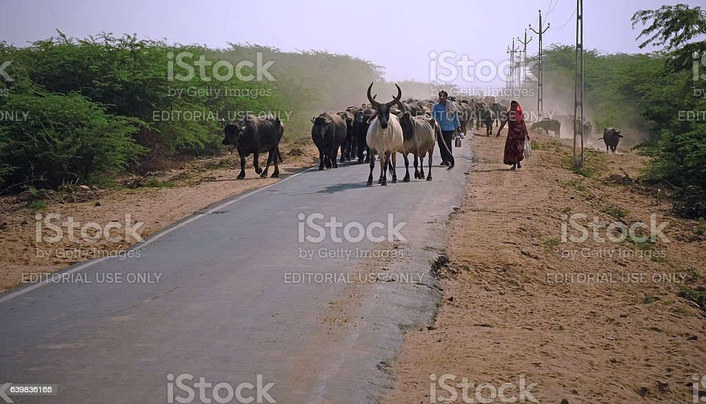 Moving a herd in the Kutch stock photo