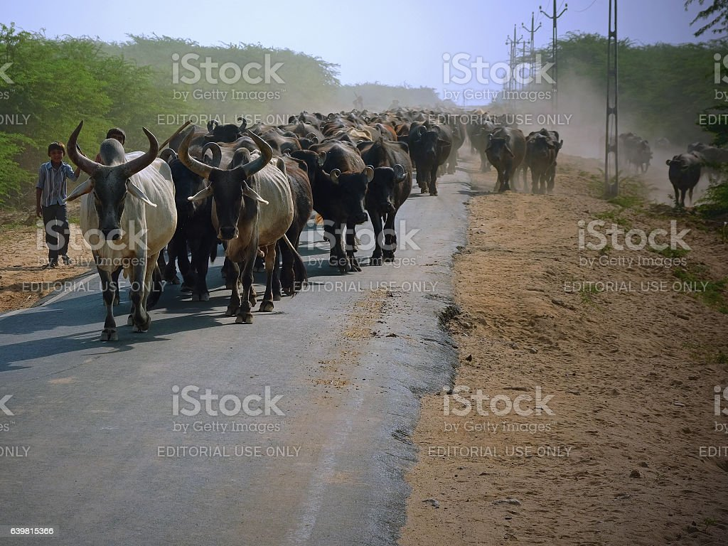 Moving cattle at the end of the day stock photo