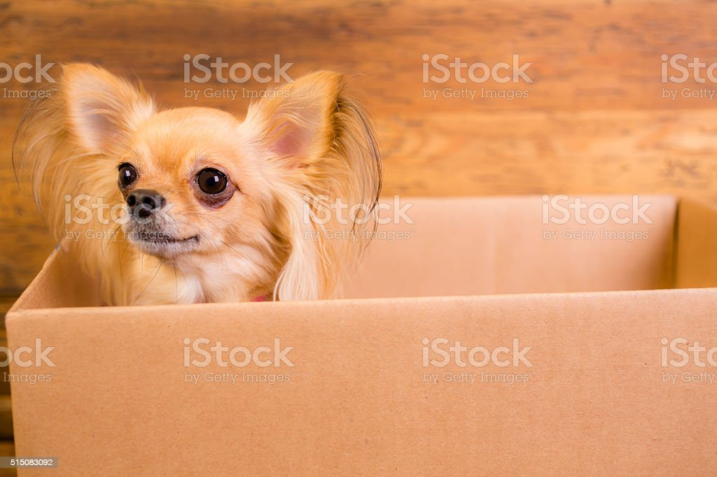 Moving day.  Dog, puppy in cardboard box. stock photo