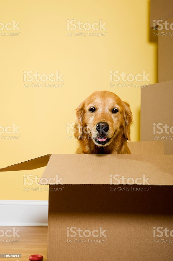 Moving - Golden Retriever stock photo