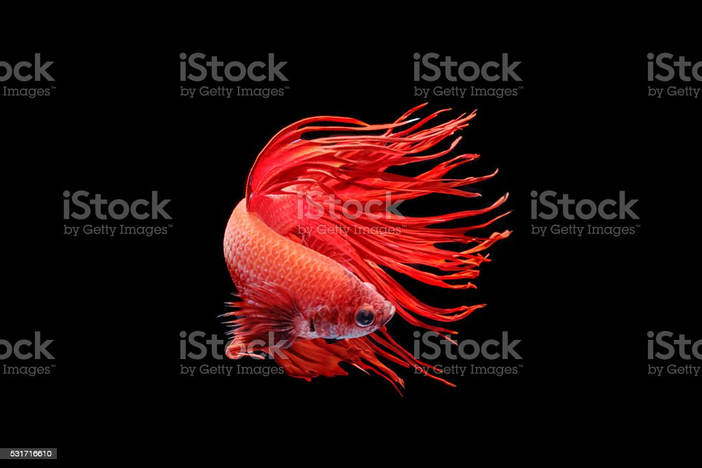 Moving moment of big ear siamese fighting fish stock photo