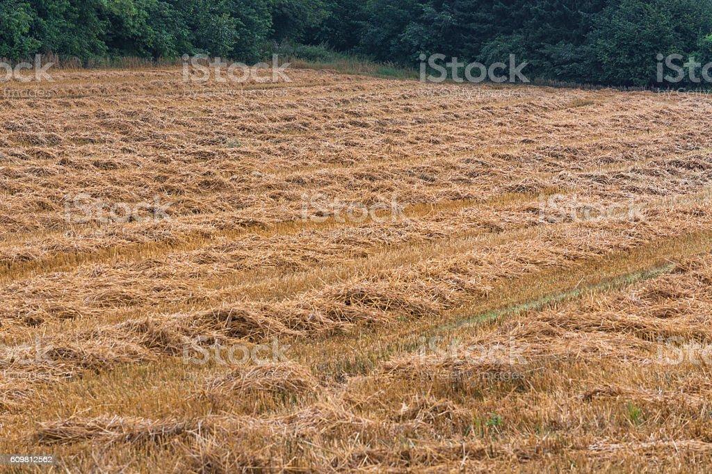 Mowed stubble cornfield after harvest. stock photo