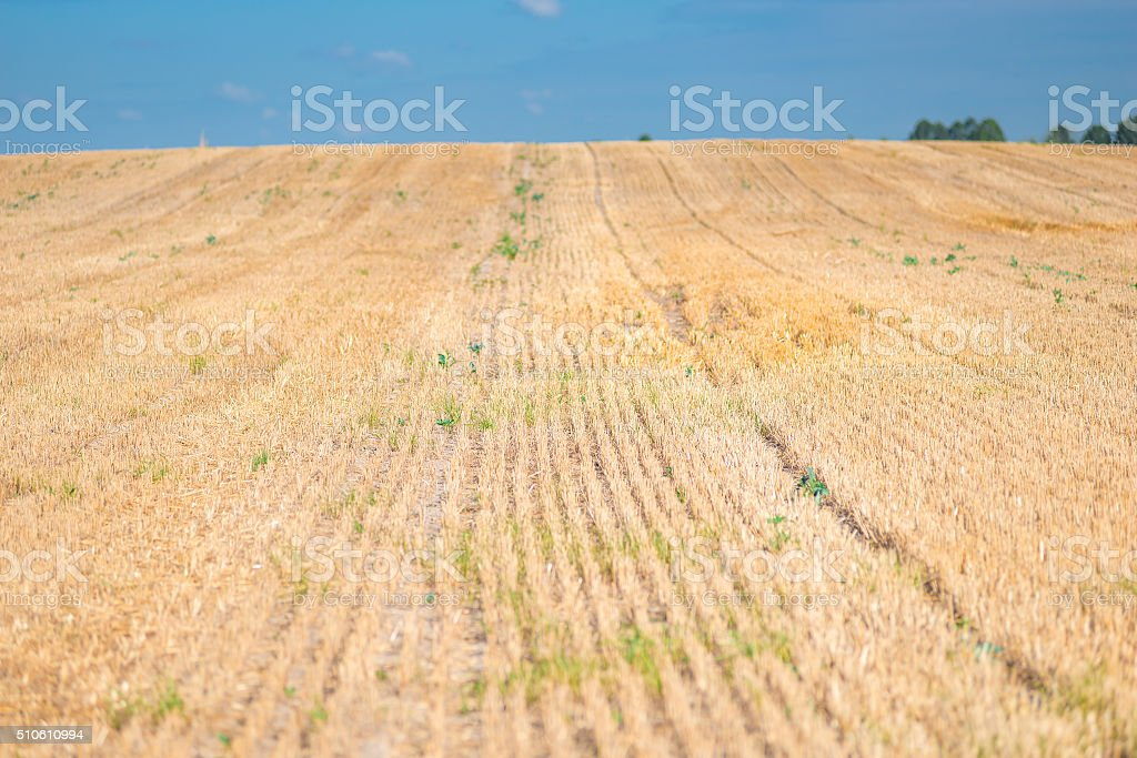 mown field close-up, dry stalks cut stock photo