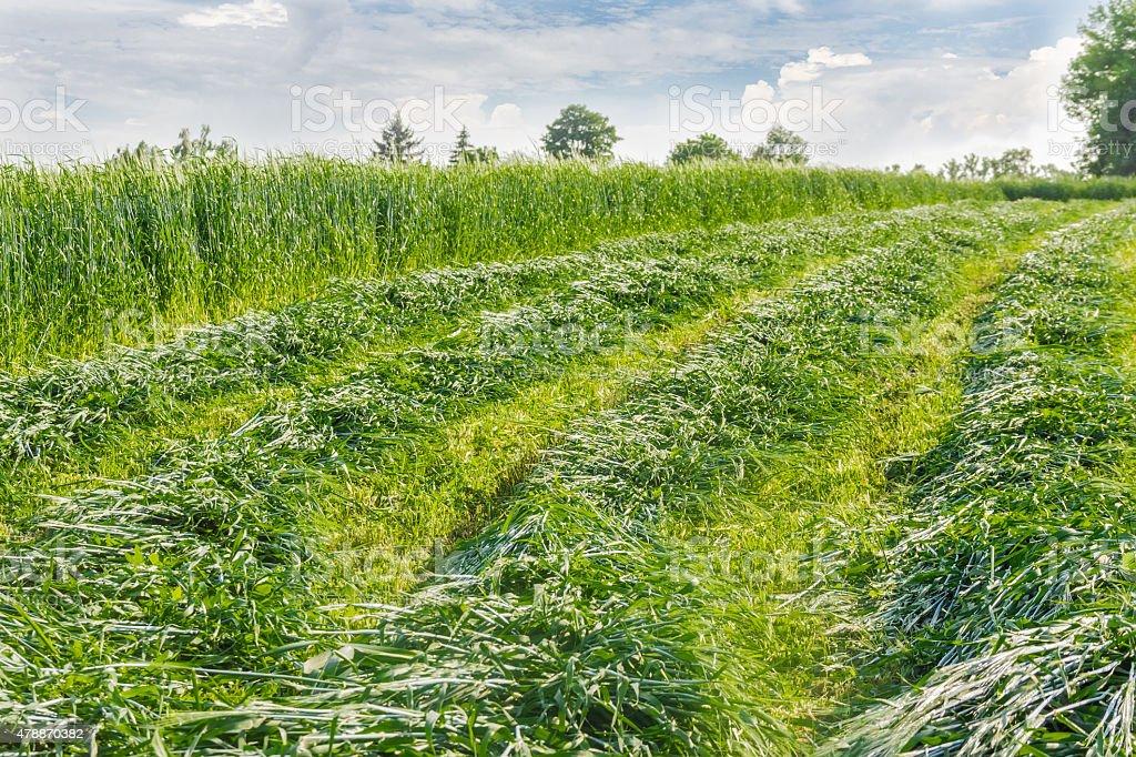 Mown hay stock photo