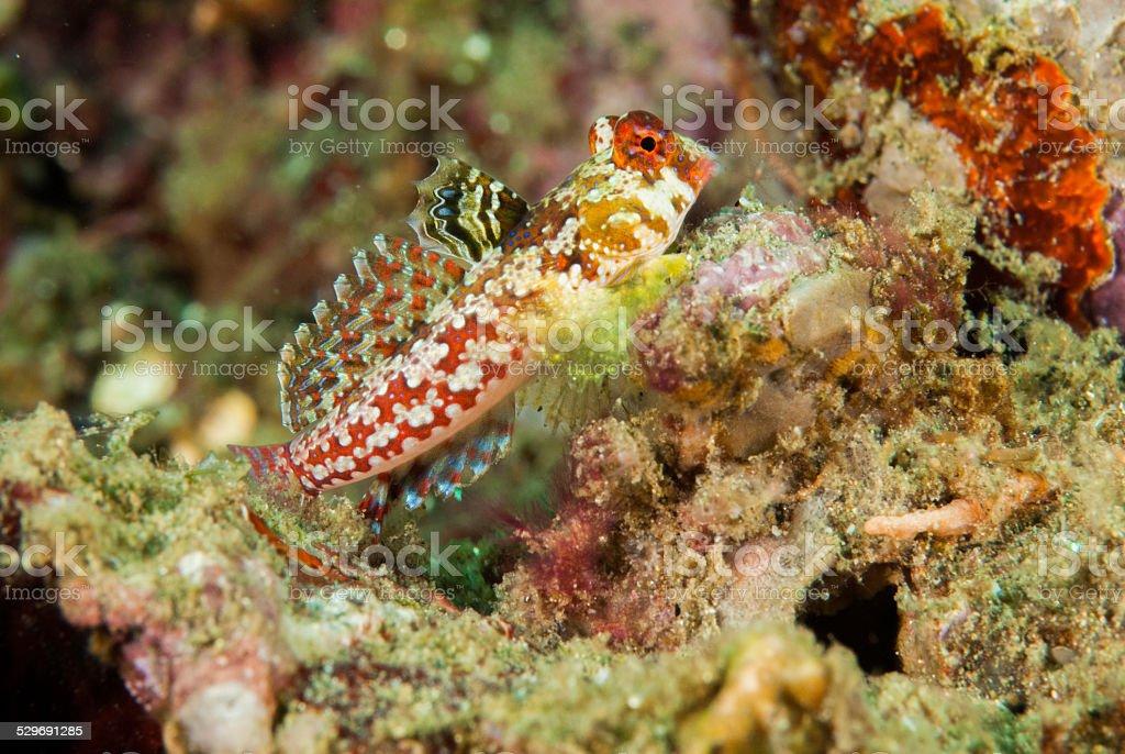 Moyer's dragonet in Ambon, Maluku, Indonesia underwater stock photo