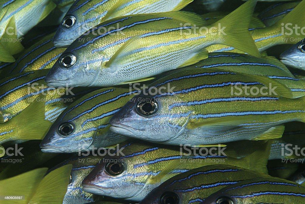 Mozambique, Indian Ocean, school of bluestripe snappers (Lutjanus kasmira), close-up stock photo