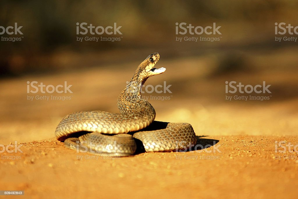 Mozamique Spitting Cobra stock photo
