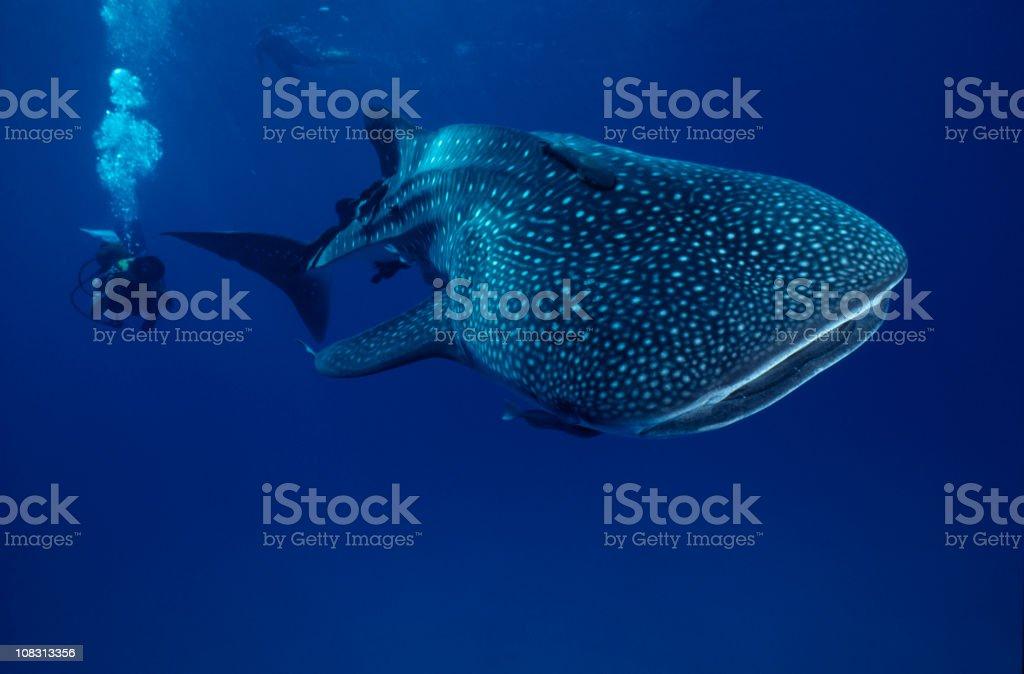 Mr. Big ...whale shark stock photo