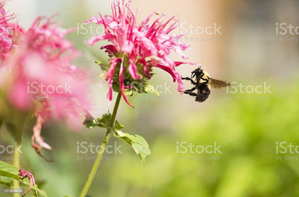 Mr. Bumblebee at Work stock photo