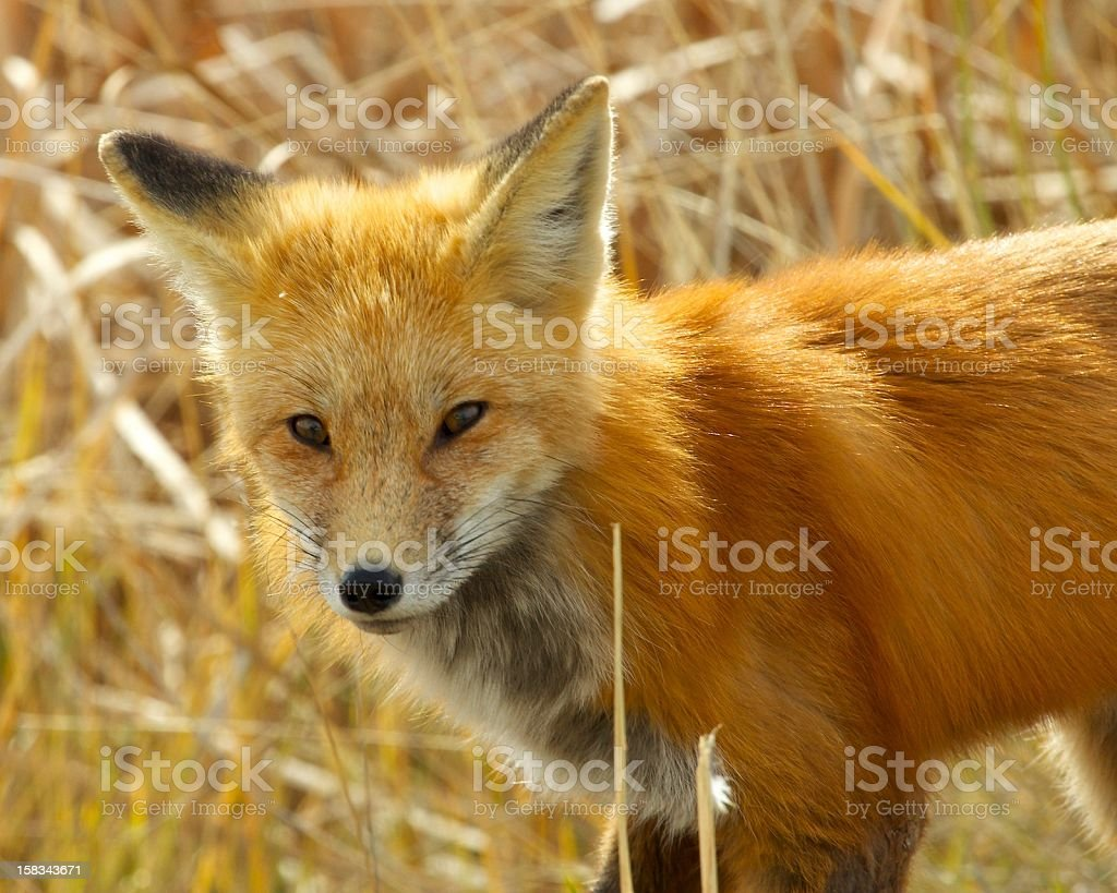 Mr Fox in the neighborhood#1 stock photo