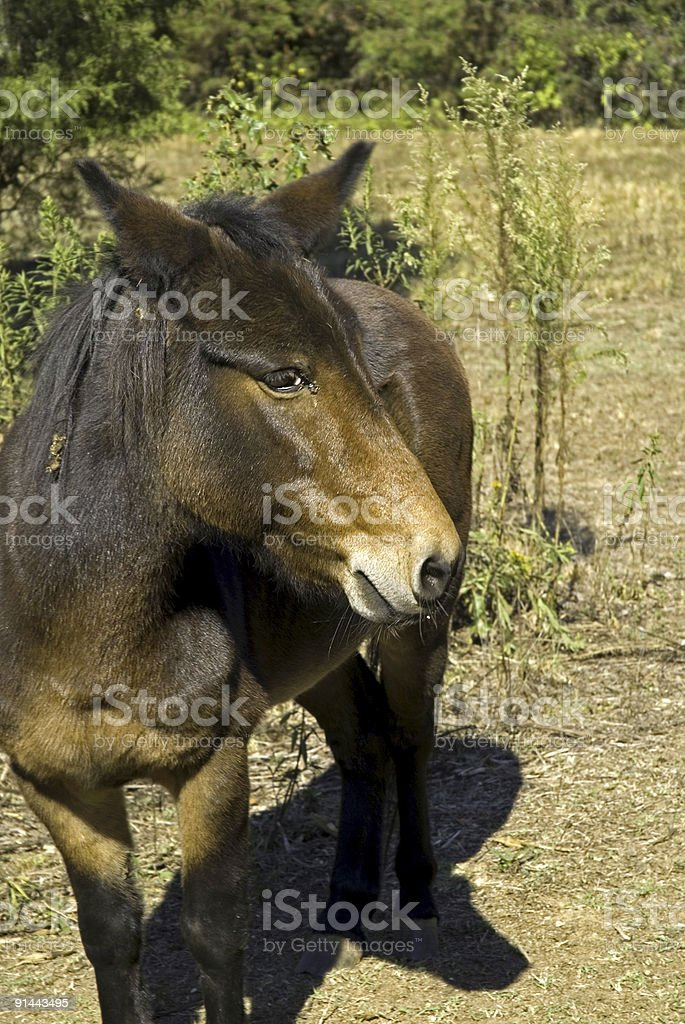 Mr. Mule royalty-free stock photo