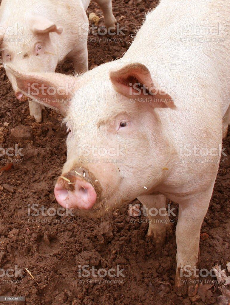 Mr. Piggy royalty-free stock photo