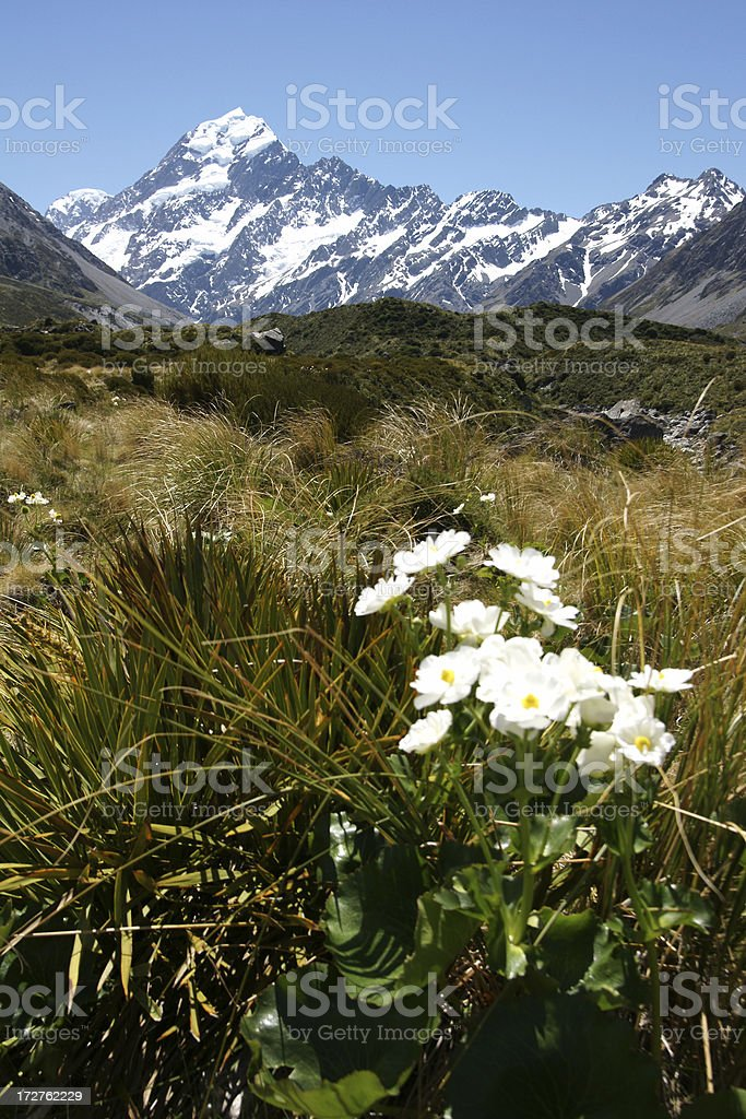 Mt Cook Lily in the National Park stock photo