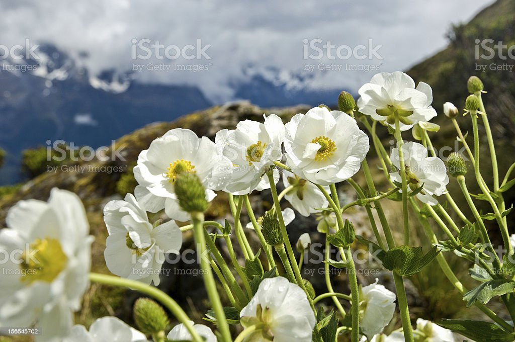 Mt Cook Lily, New Zealand royalty-free stock photo
