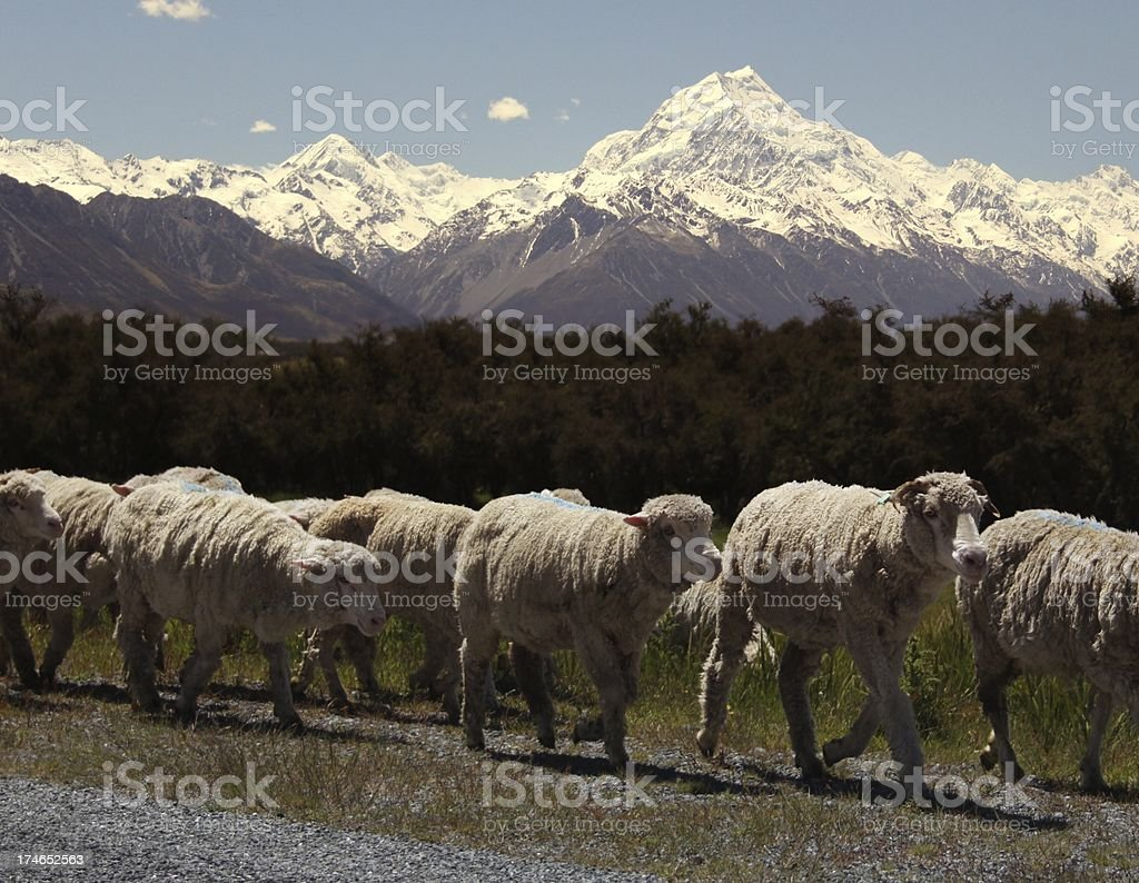 Mt Cook & Sheep royalty-free stock photo