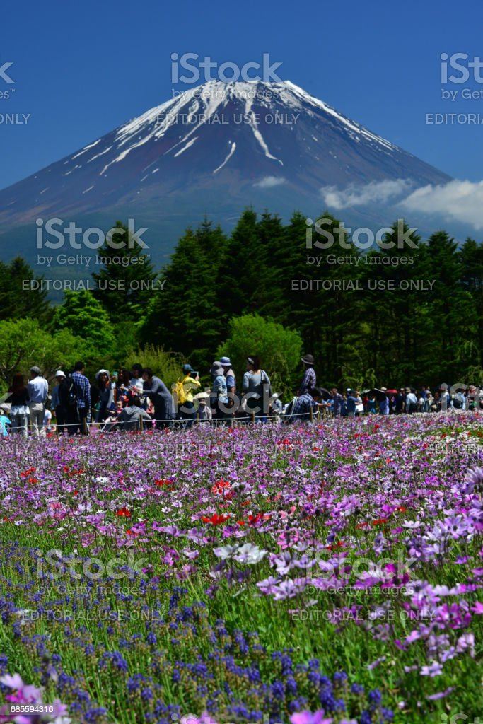 Mt Fuji and Anemone Flowers stock photo