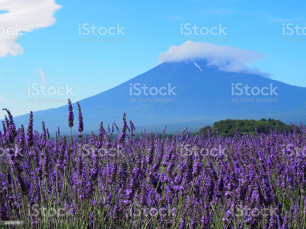 Mt. Fuji and Lavender at Lakeside of Kawaguchi stock photo