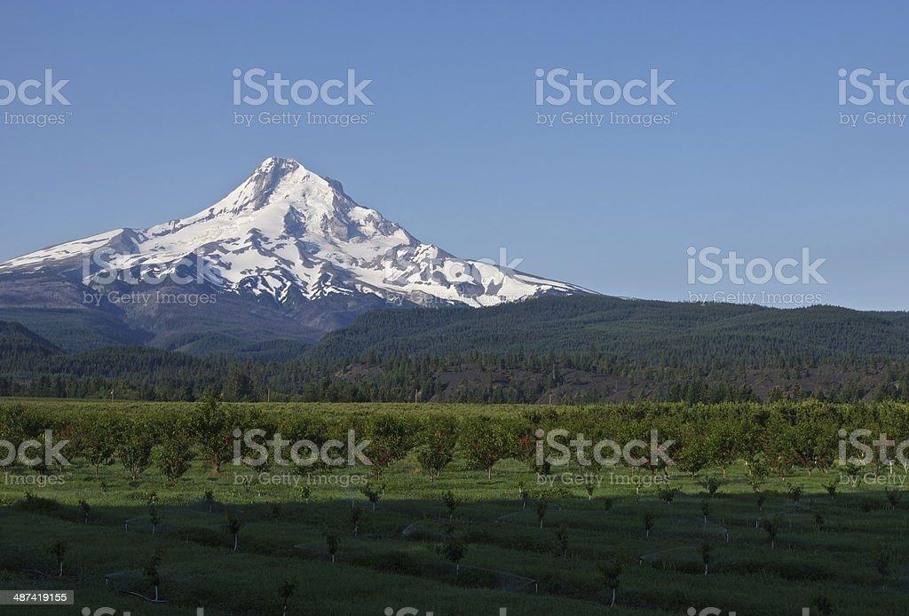 Mt. Hood Cherry Orchard stock photo
