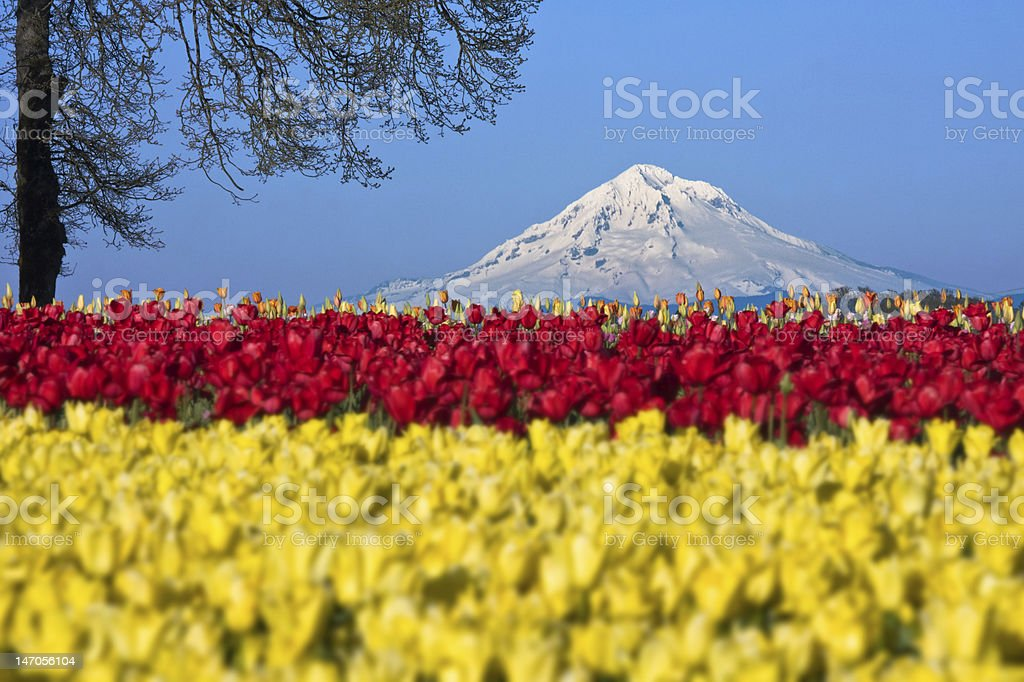 Mt. Hood in tulips stock photo