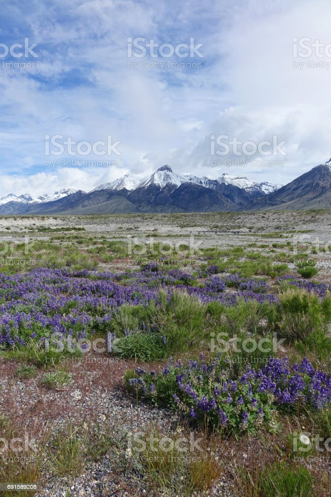Mt. McCaleb with Lupines stock photo